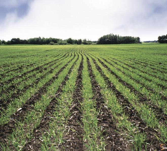 Air Till Drill crop